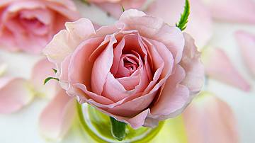 How to grow rose from a bouquet